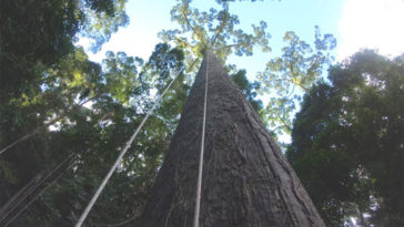 tallest tropical tree